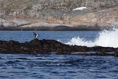 DSC01587_Fotor (Jagupov Igor) Tags: sea russia north oystercatcher kola peninsula barents haematopus ostralegus 12062016