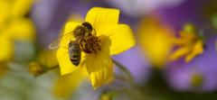 Bee (Preston Ashton) Tags: flower macro sunshine insect fly wings dof wing bee anthophila prestonashton
