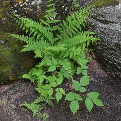 Fern (rochpaul5) Tags: geotagged botany geotag adirondack adk