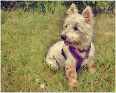 Oscar (tina777) Tags: flowers dog white west grass garden fur nose oscar westie ears canine terrier highland filter forge harness hdrtist