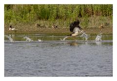 _41A5806 copy (Creeping Mac Kroki) Tags: bird nature birds landscape cow duck vogels ducks fox polder meeuw eend kievit reiger vogel koe witte vos eenden bazel lepelaar waterhoen nijlgans scholekster kwikstaart bergeend kluut visdief aalschover kruibe