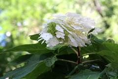 IMG_1443 (ShellyS) Tags: nyc newyorkcity flowers manhattan parks unionsquare unionsquarepark