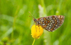 Melitaea deione (Ferruxe65) Tags: flash ngc butterflies mariposas cotobade sigma1770 bolboretas melitaeadeione pozonegro canoneos7d rioalmofrei doncellaibrica
