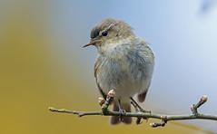 JWL6711 Chiffy.. (jefflack Wildlife&Nature) Tags: nature birds countryside woodlands wildlife farmland avian warbler heathland songbirds gardenbirds wildbirds hedgerows warblers chiffchaff