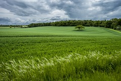 Local Lone Tree (South Warnborough) (THE NUTTY PHOTOGRAPHER) Tags: superb simply
