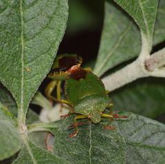 2016_05_1204 (petermit2) Tags: greenshieldbug shieldbug stinkbug garden rotherham southyorkshire yorkshire mating