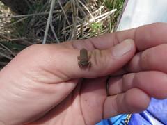 baby toad on my hand (EllenJo) Tags: pentax cottonwoodarizona 2016 june19 jailtrail 86326 ellenjo ellenjoroberts pentaxqs1
