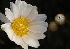Wet (peeteninge) Tags: flowers white flower nature flora outdoor natuur wit bloemen bloem