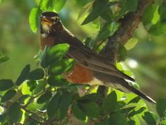 American Robin, June 20, 2016 (gurdonark) Tags: bird birds wildlife american robin 111 ranch road park garland texas
