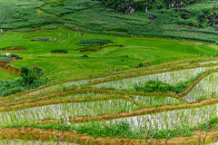 Terraced rice paddies (Pet licule) Tags: rice paddy vietnam ta filed sapa phin paddies terraced taphin