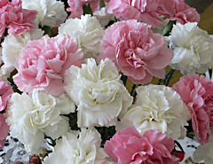 Pink & White (bigbrowneyez) Tags: nature beautiful closeup fleurs ruffles pretty perfume sweet cinnamon gorgeous natura fresh dolce delight crop fancy stunning bunch lovely fiori striking delightful carnations scented clove pinkwhite