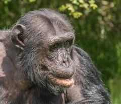 Chimpanzee (R22GMS) Tags: zoo monkey ape chimpanzee