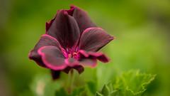 Blumen gehen immer (mkniebes) Tags: red flower green nature closeup zeiss garden dark flora bokeh outdoor smooth pollen makro pistils bokehlicious zf2 makroplanar2100