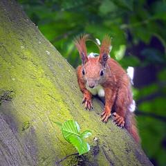 Looking from the tree (hedera.baltica) Tags: squirrel redsquirrel wiewirka sciurusvulgaris eurasianredsquirrel wiewirkapospolita