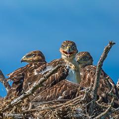 One in every family (Pat Kavanagh) Tags: baby canada babies nest hawk alberta raptors hawks labmode labcolorspace babyraptors patrickkavanaghca