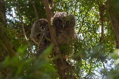 Western Screech Owl Fledglings (OwlPurist) Tags: westernscreechowl fledgling portland oregon megascopskennicottii