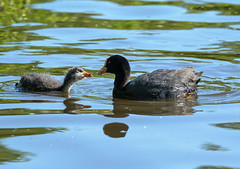 Coot Mother and Baby (tobyjm) Tags: baby bird nature water pond mother reserve chick fleet coot