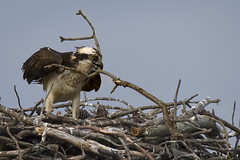 Osprey working branch... (turtlehawk) Tags: nature outdoors wildlife bethany osprey bethanybeach bluecoast 060416
