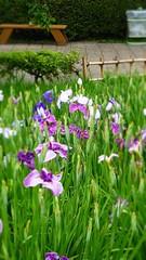 Horikiri Iris Park (Stop carbon pollution) Tags: fb flickr japan 日本 kantou 関東