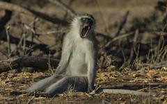 It Can Be Soooo Tiring Being A Monkey (philnewton928) Tags: africa wild nature animal southafrica mammal outdoors monkey nikon natural outdoor wildlife safari primate animalplanet vervet krugernationalpark kruger bateleur vervetmonkey chlorocebuspygerythrus d7200 nikond7200