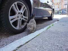 Stray Cat of OTR (Travis Estell) Tags: ohio cat cincinnati straycat graycat greycat overtherhine 15thstreet catsofotr 15thstreetcincy 15thstreetotr
