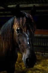 Jazz the Black Horse (alba1988) Tags: horse black dark animal farm portrait night stable horsehair spanishhorse caballoespaol pre andaluz cavall caballo granja barn establo estable quadra cuadra retrat retrato llums lights ull eye ojo