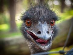 What's happening (Klaus Lechten) Tags: zoo olympus emu australien tierpark straus granat laufvogel reken flugunfhig strausenvogel lechten zukio1454