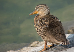 Mallard (Anas platyrhynchos) (ekroc101) Tags: ontario birds mallard anasplatyrhynchos portdalhousie