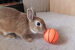 Ichigo san 233 ICHIGO san  (mensore) Tags: family pet brown cute rabbit bunny dwarf netherland ichigo   netherlanddwarf