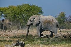 The Matriarch (alisdair jones) Tags: africa park elephant female namibia etosha ef70200mmf28lisusm2xiii