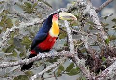 Tucano-de-bico-verde * Red-breasted Toucan (xofred) Tags: verde toucan bico redbreasted tucano tucanodebicoverde dicolorus ramphastus