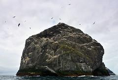 Stac Lee (supersky77) Tags: stkilda staclee gannet gannetry birdcliff bird sula sulabassana morusbassanus unesco unescoheritage cliff northatlantic atlantic atlantico atlanticocean oceanoatlantico