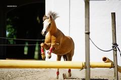 Welsh Pony Jucy - Free Jumping (vesterskov) Tags: daniel vesterskov foto fotografi photo photography portrt portrait danmark denmark sony slt dslr a99 a99v slta99 slta99v bokeh dof fullframe full frame horse horses barn horsemanship stable hest heste stald western riding ride slide stop trot walk training trning jucy welsh mountain pony ponie poni spring jump free fri ls tamron 70200 mm a001 f 28 f28 sp af 70200mm di ld if ex dg hsm
