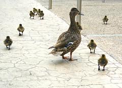 Zoo Visitors (Bennilover) Tags: california birds zoo ducklings mothers tiny ten visitors sandiegozoo zoos mallards