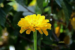 """""""Three things in human life are important. (judecat (getting back to nature)) Tags: nature yellow zinnia"""