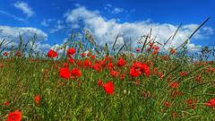 Poppy land (RainerSchuetz) Tags: summer june agriculture clouds poppy poppies field explore explored