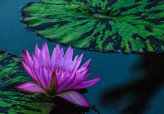 Longwood Gardens -25 (Webtraverser) Tags: gardens waterlily waterlilies longwoodgardens magichour sunsetting d7000