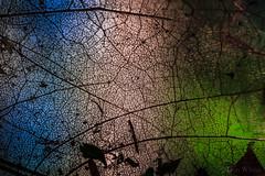Filtered Light (Don White (Burnaby) Thanks for the Three Million V) Tags: macro skeleton leaf bokeh centralpark extensiontube flowersplants driedup 26mm sigma60mmf28