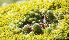 Alpine plant (in Explore) (WibbleFishBanana) Tags: austria alps mountains plant zillertal zillergrund web spider sterreich