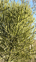 Koeberlinia spinosa-- the Crucifixion Thorn (Dick Culbert) Tags: bush bajacalifornia koeberliniaspinosa taxonomy:common=crucifixionthorn taxonomy:family=koeberliniaceae geo:lat=23355 geo:long=11018 taxonomy:binomial=koberliniaspinosa cucifixionthorn