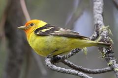 Western tanager (jlcummins - Washington State) Tags: bird nature washingtonstate yakimacounty bethelridge