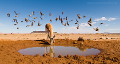 Click (Marsel van Oosten) Tags: africa winter hot reflection water birds animal sand desert wildlife extreme drinking dry sunny bluesky workshop drought antelope waterhole namibia climatechange springbok sossusvlei marsel deadvlei phototour ryandyar marselvanoosten squiver