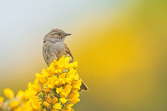 Dunnock (Andrew Haynes Wildlife Images) Tags: