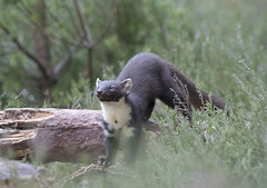 Scotland (richard.mcmanus.) Tags: scotland pinemarten blackisle mammal britishwildlife animal scottishhighlands mcmanus