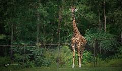 World Giraffe Day (Saira Bhatti) Tags: travel toronto canon photography wildlife photojournalism wanderlust giraffe photojournal travelphotography worldcitizen canonphotography sairabhatti wolrdgiraffeday worldcitizenphotojournal