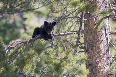 What's up? (jrlarson67) Tags: bear wild black tree animal cub nationalpark nikon wildlife yellowstone d500
