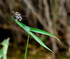 IMG_7927.jpg (Doryce) Tags: insect dragonfly arrowhead sbnwr