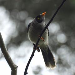 Manorina melanocephala (Diana Padrn) Tags: bird birds ave aves australia victoria cussen park nature wildlife naturaleza humedal humedales noisy miner mielero chilln manorina melanocephala