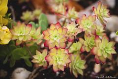 Aeonium Haworthii 'Kiwi' (SigridCaballero) Tags: plant planta garden spain ciudadreal jardín aeonium puertollano haworthii