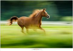 Pireko (nandOOnline) Tags: weide nederland dier manege equus paard paarden nicol equidae arabier nbrabant bakel hoefdier onevenhoevigen pireko